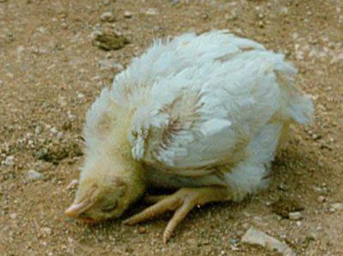 bệnh gà rù, bệnh Newcastle, cách điều trị bệnh Newcastle ởgà, gà bị rù, phòng bệnh gà rù, bệnh newcartxon, nguyên nhân gà bị rù, cách điều trị gà bị ủ rũ