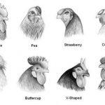 các dạng mồng gà, các loại mồng gà, cách xem tướng gà, cách xem tướng mồng gà, mồng gà chọi, mồng gà cựa sắt, gà mồng lá, gà mồng trích, gà mồng dâu, gà mồng vua, gà mồng đậu, gà mồng trích, gà mồng óc
