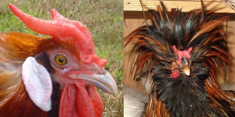 các dạng mồng gà, các loại mồng gà, cách xem tướng gà, cách xem tướng mồng gà, mồng gà chọi, mồng gà cựa sắt, gà mồng chạc, mồng chạc