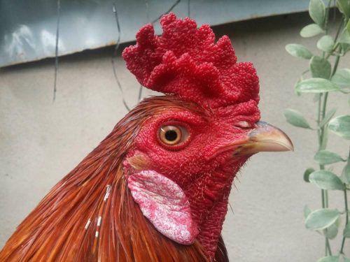 các dạng mồng gà, các loại mồng gà, cách xem tướng gà, cách xem tướng mồng gà, mồng gà chọi, mồng gà cựa sắt, gà mồng dâu, mồng dâu