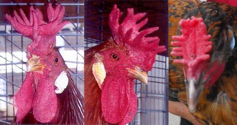 các dạng mồng gà, các loại mồng gà, cách xem tướng gà, cách xem tướng mồng gà, mồng gà chọi, mồng gà cựa sắt, gà mồng vua, mồng vua, mồng hình vương miện
