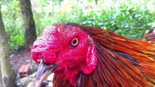 các dạng mồng gà, các loại mồng gà, cách xem tướng gà, cách xem tướng mồng gà, mồng gà chọi, mồng gà cựa sắt, gà mồng trích, mồng trích