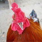 gà chọi thần kê, gà linh kê, linh kê và thần kê, cách nhận biết linh kê, thần kê dị tướng, gà linh kê, gà linh gà quý