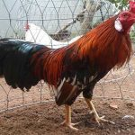 gà bị khò khè, gà thở khò khè, cách chữa gà bị khò khè, cách nuôi gà chọi hay, kỹ thuật nuôi gà chọi