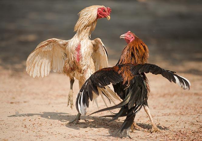 các lối đá của gà chọi, lối đá của gà, các lối đá của gà, cách xem đòn lối gà chọi, thế đá, đòn đá