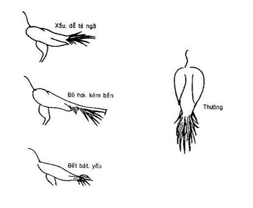 Cách xem tướng gà đá, lưng gà, đuôi gà, mặt gà