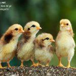 cách nuôi gà con, cách nuôi gà chọi con, cách nuôi gà chọi con mới nở, cách nuôi gà mới nở, cách chăm sóc gà con mới nở, cách nuôi gà chọi mởi nở