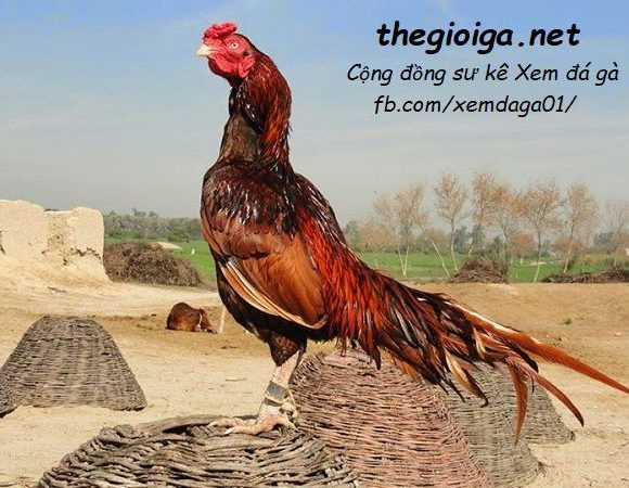 hình gà đẹp, gà chọi đẹp, hình ảnh gà chọi đẹp nhất việt nam, hình ảnh gà chọi đẹp nhất thế giới, gà chọi đẹp nhất, ảnh gà chọi đẹp, gà asil, asil