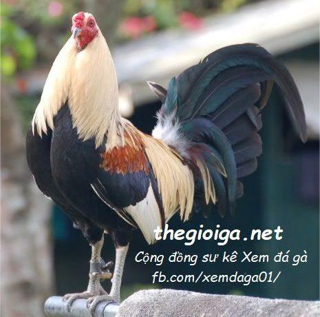 hình gà đẹp, gà chọi đẹp, hình ảnh gà chọi đẹp nhất việt nam, hình ảnh gà chọi đẹp nhất thế giới, gà chọi đẹp nhất, ảnh gà chọi đẹp, gà mỹ, gà chọi mỹ