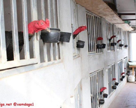 cách làm chuồng gà, cách làm chuồng gà đơn giản, chuồng gà tự làm, mẫu chuồng gà đẹp, làm chuồng gà đẹp, làm chuồng gà đơn giản, cách xây chuồng gà đơn giản,
