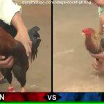 đá gà thomo, đá gà campuchia, trực tiếp đá gà thomo hôm nay, đá gà sabong, đá gà trực tiếp, đá gà trực tuyến, cockighting, chicken fight,