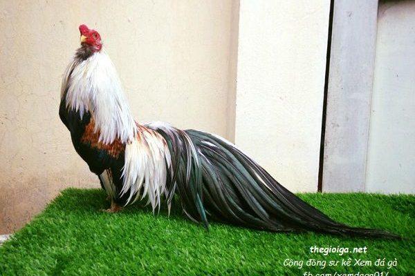 hình gà đẹp, gà chọi đẹp, hình ảnh gà chọi đẹp nhất việt nam, hình ảnh gà chọi đẹp nhất thế giới, gà chọi đẹp nhất, ảnh gà chọi đẹp, gà tre, gà tre cảnh, gà tre tân châu