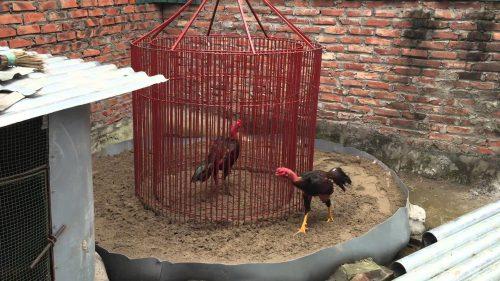 cách huấn luyện gà đá, cách huấn luyện gà chọi, huấn luyện gà chọi, huấn luyện gà chọi đá hay
