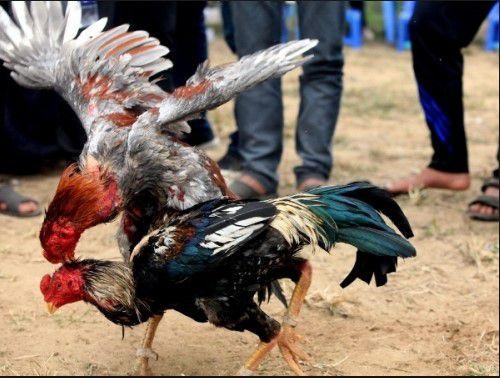 cách chăm sóc gà chọi, cách chăm sóc gà đá, cách chăm sóc gà chiến, cách nuôi gà chọi, cách nuôi gà đá
