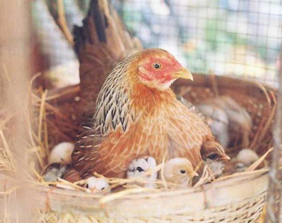 cách đúc gà chọi, cách đúc gà nòi, kỹ thuật đúc gà chọi, đúc gà chọi, đúc gà