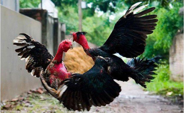 gà chọi bình định, đá gà ăn tiền, đá gà ăn tiền trực tuyến, đá gà ăn tiền trên mạng, gà nòi, cách nuôi gà chọi