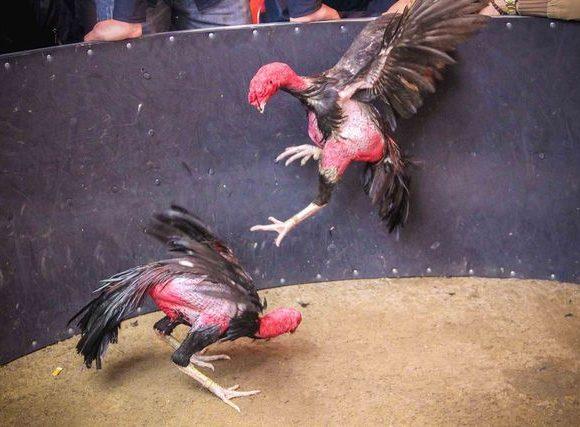 cách nuôi gà, cách nuôi gà chọi, cách nuôi gà đá,