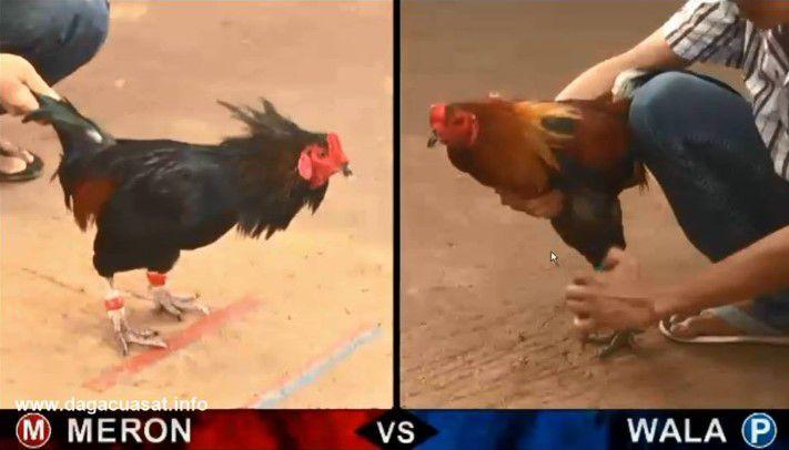 kỹ thuật đá gà, cách thả gà, đá gà trực tuyến