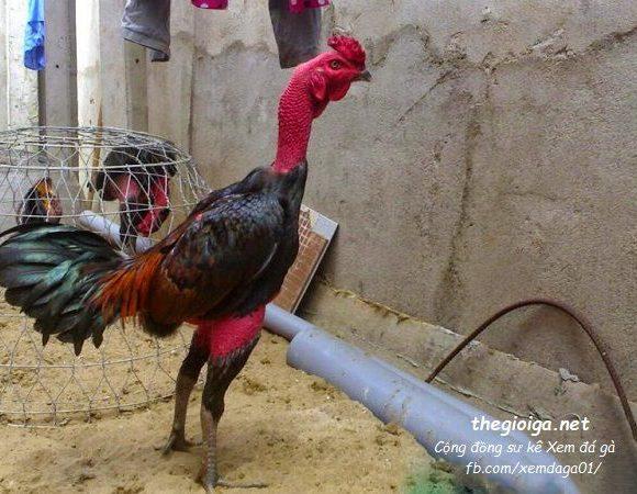 hình gà đẹp, gà chọi đẹp, hình ảnh gà chọi đẹp nhất việt nam, hình ảnh gà chọi đẹp nhất thế giới, gà chọi đẹp nhất, ảnh gà chọi đẹp, gà nòi