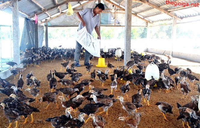 Kỹ thuật nuôi gà nhốt chuồng