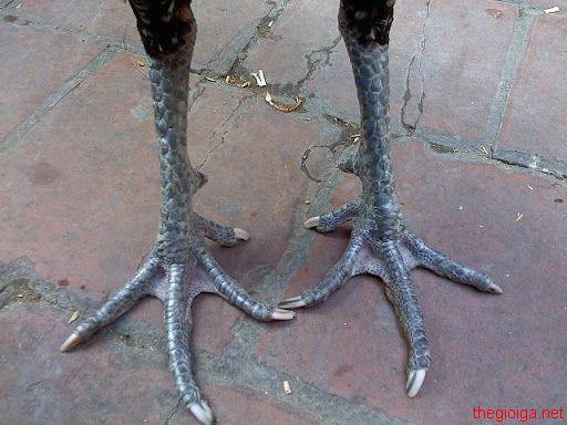 gà chân chì