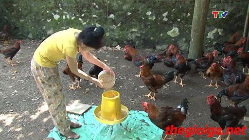 máng ăn cho gà