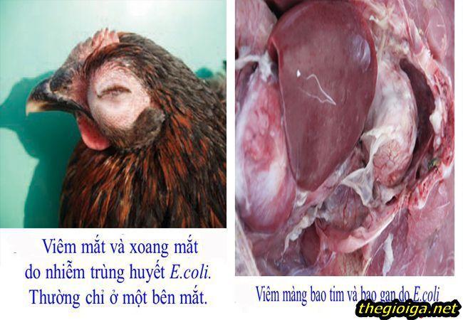 Bệnh ecoli trên gà